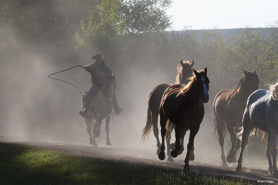 Tucker bringing the horses in