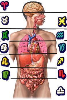 organos-cuerpo-humano-2