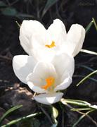 Белые крокусы