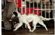 Setter at the Dogshow