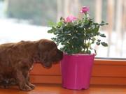 amaranth boy with roses, 4 weeks