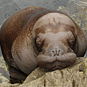 _JLM4553-walrus-baby-and-kulu-3-20-08