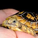 _JLM8322-pancake-tortoise-baby-4-17-09