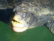 hi sea turtle