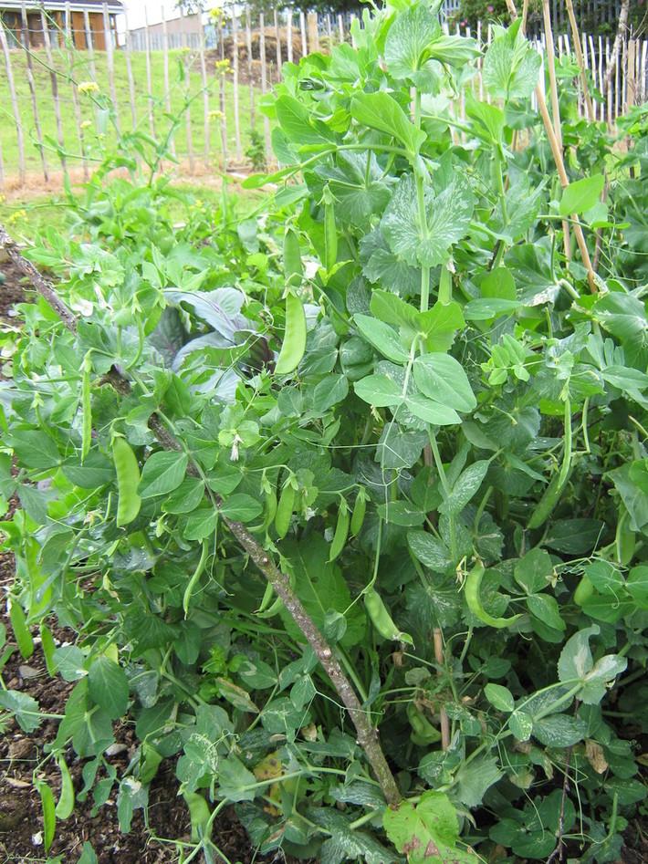 First Rosemount Harvest Summer 2011