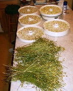 drying chamomile blossoms
