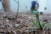 praying mantis 062