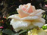 rosalin