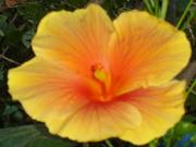 Hibiscus- Belo Oren