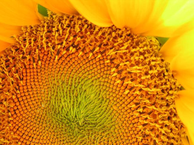 Nahshon Meirav sunflower1