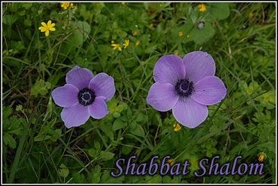 shabbat-shalom-20100129-500