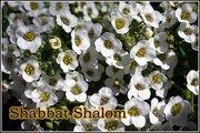 shabbat-shalom-20090424-500
