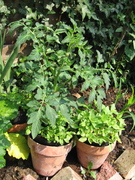 Tomatos and basil in the garden