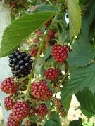 Monster blackberries 2009