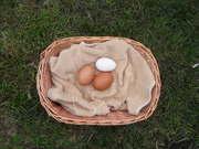 Fresh Eggs 2010