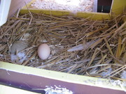 Nest Box Egg