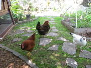 Free ranging in the backyard