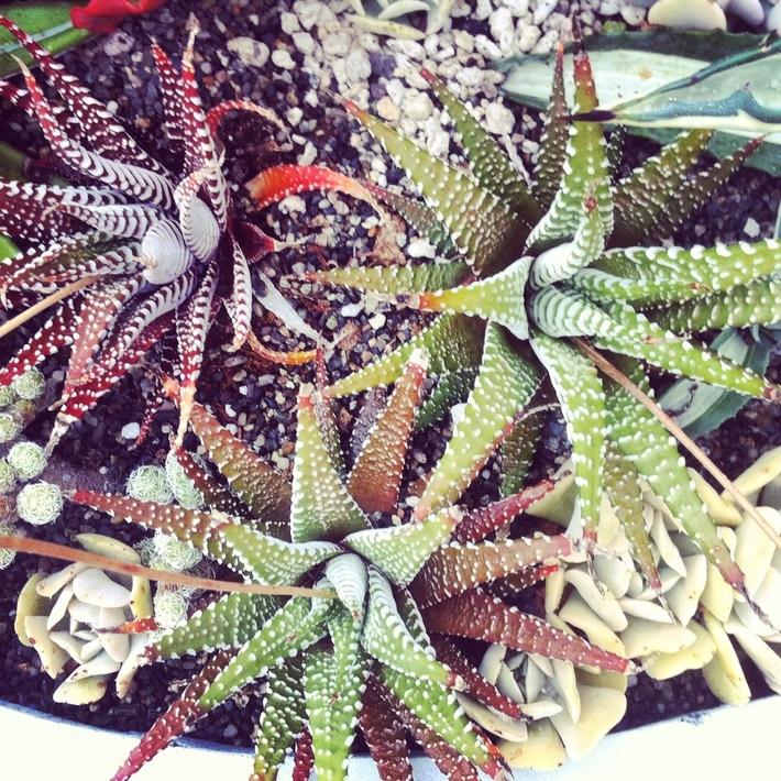 potted succulents at VanDusen