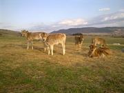 Busha Cattle in the Stara Planina Nature Park