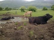 Water Buffalo and Domestic Mountain Pony in the Zabrdje Region