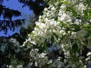 Яблони в цвету 2011