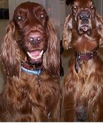 Irish Setter Rescue Dogs