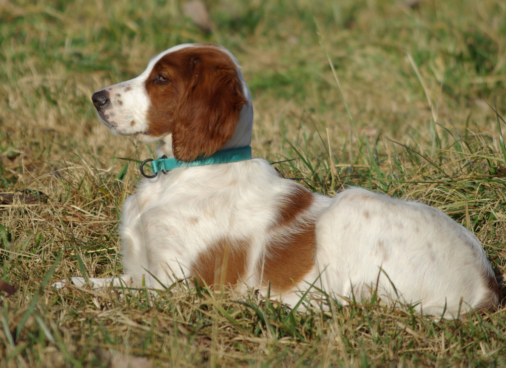 Irish Red & White Setters - Exclusively Setters