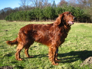 I ♥ my Irish Red Setter.