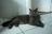 BSH avagy Brit macska