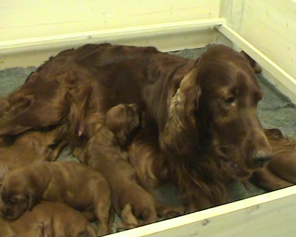 Red Rhythm's A-puppies almost 2 weeks