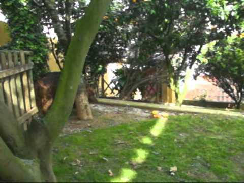 PortoRio :4 irish red setter in sunday Spring 27 03 2011.MPG