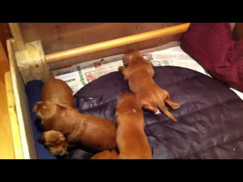 Irish Red Setter Pups - Day 15