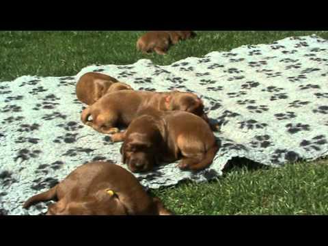 Irish Setter Puppies 2 weeks old 29.4.2011 - Glory Field´s H-Litter