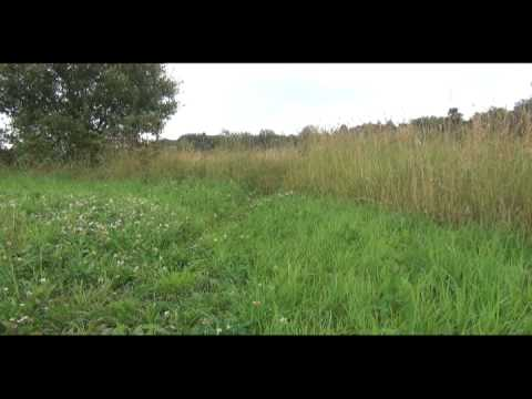 Irish Setters Järna Meadow 2012