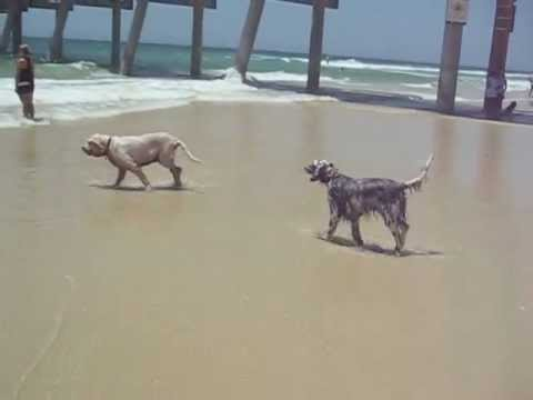 My English Setters, Hobson and Misty at the beach