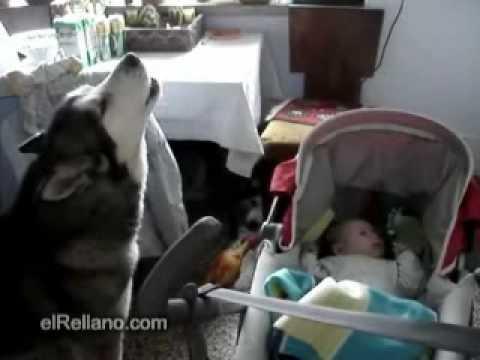 Wolf dog sings to a baby to stop his cry / Ağlayan bebeğe hiç kurt köpeği ninni söyler mi? demeyin! <3