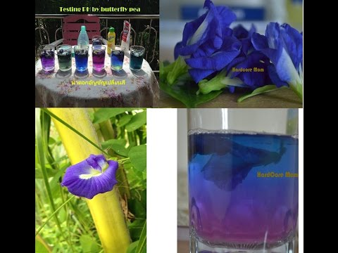Testing PH by butterfly pea | ทดสอบค่า PH โดยใช้ดอกอัญชัญ