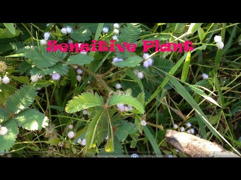 Sensitive Plant | Mimosa pudica | ไมยราพ