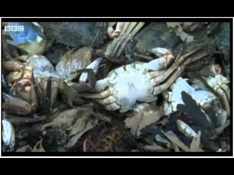 THOUSANDS OF DEAD CRABS WASHING UP ON UK COASTLINE