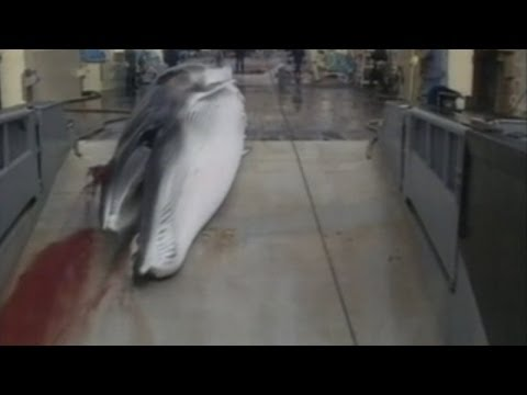 Japan banned from hunting whales in Antarctic