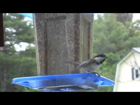 Dancing / Screaming At Me Bird