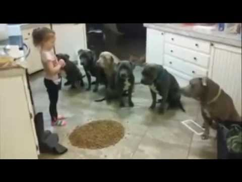 4 year old girl controlling and feeding 6 pitbulls