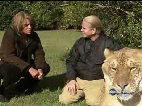 Hercules the Liger - Hybrid Animals (ABC Nightline)