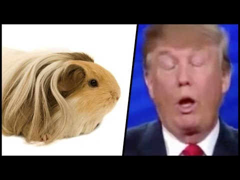 Guinea Pigs React to Donald Trump