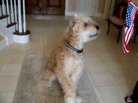 Evita, patriotic dog, salutes American Flag