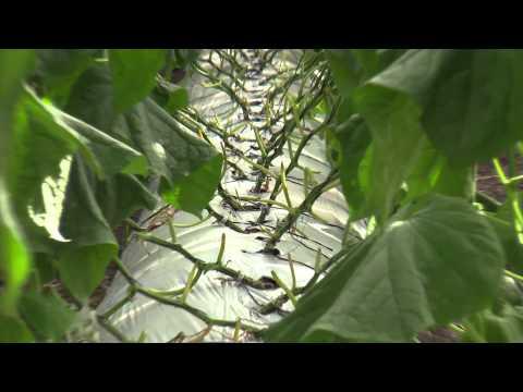 Bt en producción orgánica o convencional