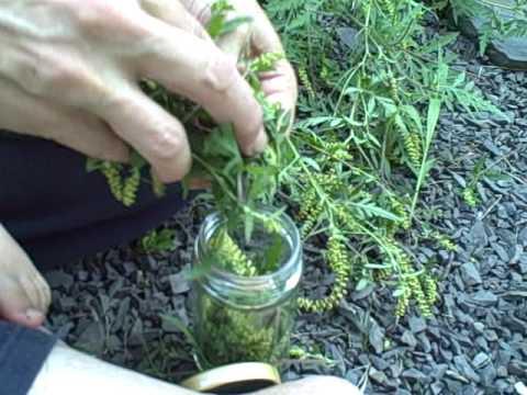 ragweed tincture