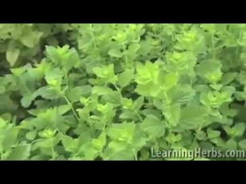 Lemon Balm Herb: Melissa officinalis