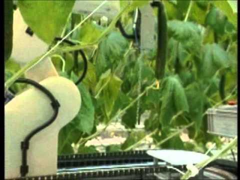 Robô para colheita de pepino