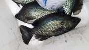 Big Crappie In Skinny Water.........April